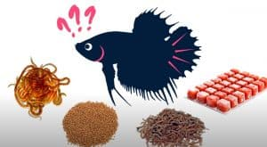 what kind of food for betta fish