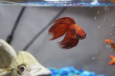 how long can a betta fish live without food