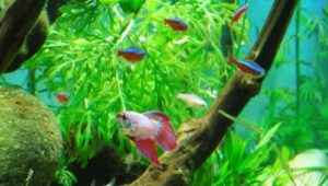 what fish can live with bettas