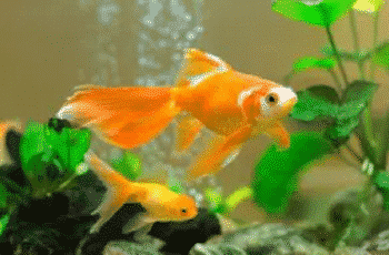 How to take care of a Goldfish