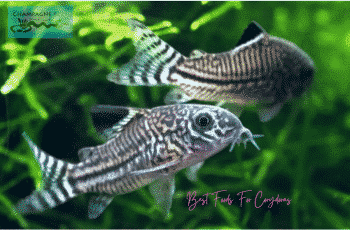 Best Food For Corydoras