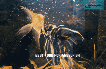 best food for angelfish