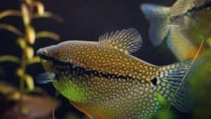 most intelligent fish for aquarium